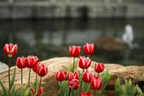 郁金香花开朵朵开