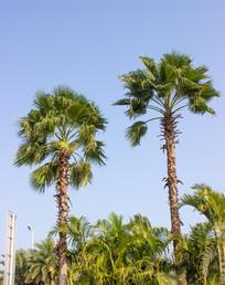 棕榈树拍摄