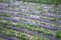 草莓农作物