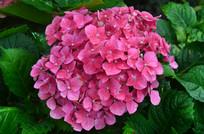 粉色多肉小花