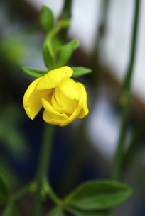 黄色花骨朵