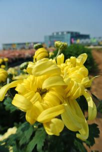 两支待放的黄菊