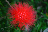 毛茸茸的红色小花