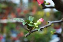 铁梗海棠花骨朵