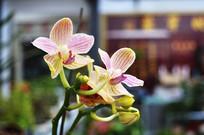 妖艳的兰花