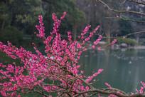 绽放的红梅花