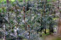 大山里的良林木苗