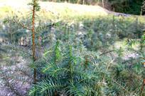 杉木图片苗