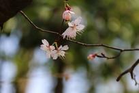 盛放的樱花