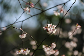 樱花上的蜜蜂