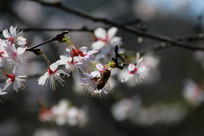 樱花摄影素材