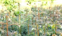 一片杉苗图片