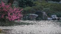 池塘边的红梅树