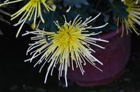 俯拍菊花花卉特写图片