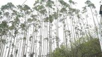 高耸的桦树林