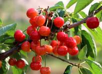 挂满枝头的红樱桃