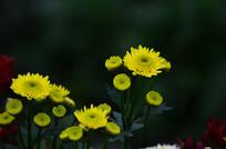 黄色小菊花特写图片