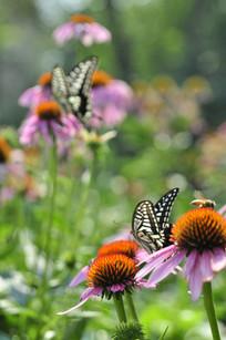 两只凤尾蝶停在紫锥菊花絮上