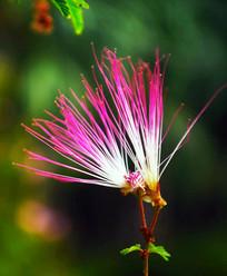毛茸茸的小花