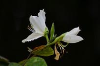 美丽的白色紫荆花