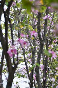 美丽的紫荆花树林