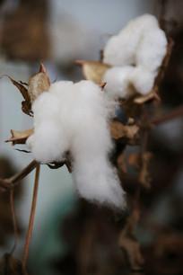 农作物棉花花絮