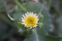 蒲公英的黄色小花