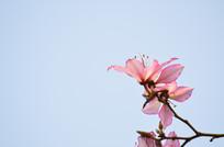 唯美的紫荆花