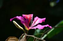艳丽的粉红色紫荆花特写图片
