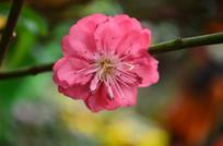 一朵灿烂的桃花