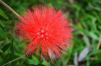 一朵毛茸茸的红花