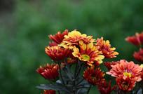 一株灿烂的菊花