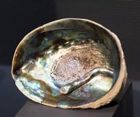 鲍鱼壳里寄生虫形状的天然珍珠