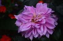 灿烂的菊花花朵
