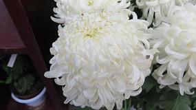 大朵白色菊花