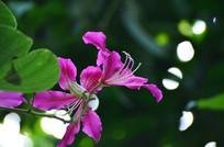 粉红色的紫荆花