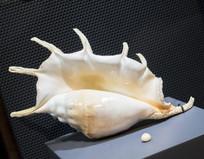 卡西斯大珍珠和贝壳