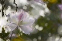 一朵紫荆花特写图片