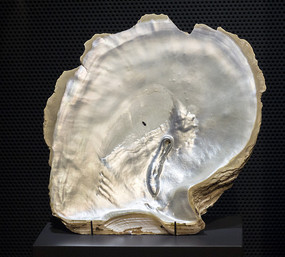 有鱼珍珠的太平洋大珍珠牡蛎