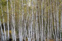 整齐的白桦林