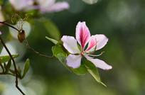 紫荆花特写图片