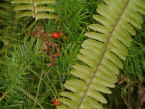 草丛中的红果果