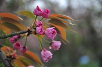 含苞待放的樱花