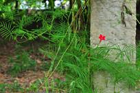 旋花科茑萝的藤蔓和花
