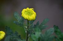 一株含苞待放的菊花花骨朵