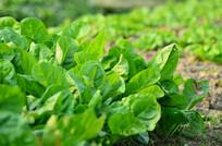 农田里的蔬菜农作物