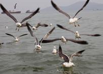 展翅飞翔的一群海鸥