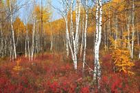 白桦林之秋
