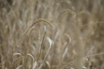 枯黄的小草