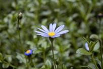 蓝色的雏菊花